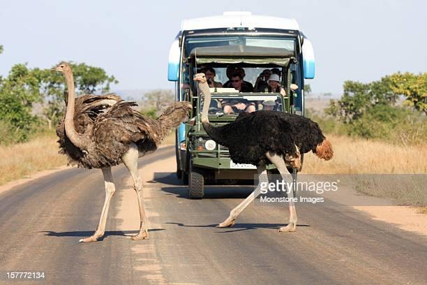 Strauß im Kruger Nationalpark, Südafrika