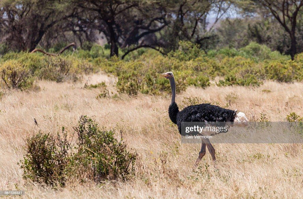 Ostrich, Kenya