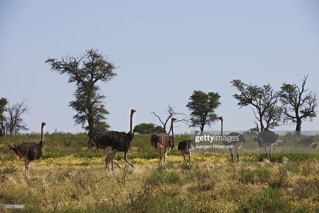 Ostrich, Kgalagadi Transfrontier Park : Stock Photo