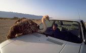 Ostrich on Car in Wildlife Reserve