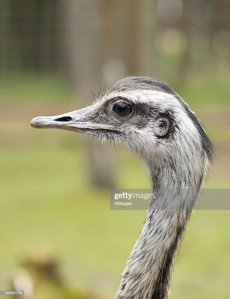 Ostrich : Stock Photo