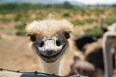 Curious Ostrich, Portrait, Close Up