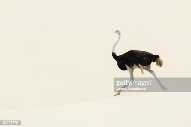 Ostrich walking in sand dune