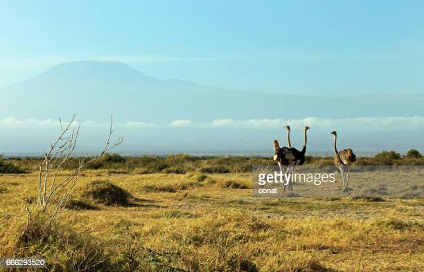 Ostriches and Mount Kilimanjaro