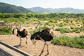 Walking Birds, Ostrich Farm in California