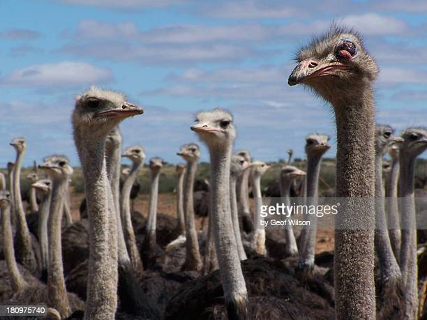 Ostriches in Namibia