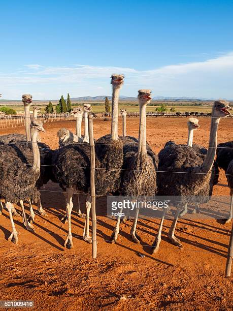 Avestruces en Oudtshoorn, Sudáfrica