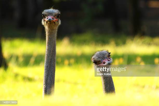 Ostriches look out from their enclosure at Taronga Western Plains Zoo on April 20 2012 in Dubbo Australia The popular 35 year old Dubbo zoo is set in...