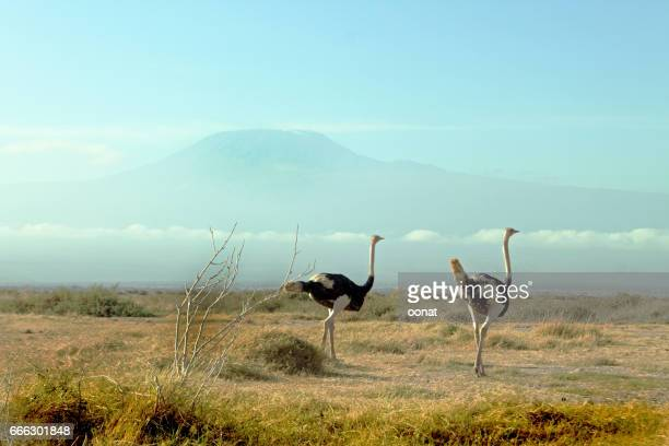 Ostriches roaming the plains beneath Mount Kilimanjaro