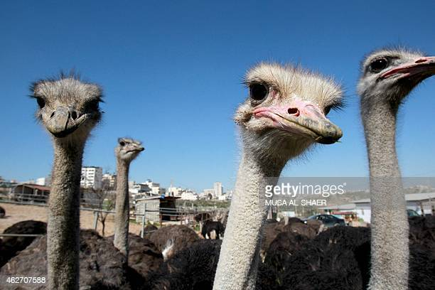 Ostriches stand in a pen at an ostrich farm set up by fiftyyear old Palestinian farmer Abdulrahman Abu Tir near the West Bank city of Bethlehem on...