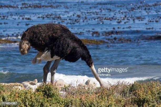 Mito de avestruz