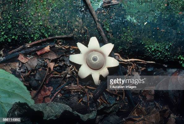 Otherworldly Earth Star on forest floor like puffball discharges spore cloud when struck by raindrop Gunung Leuser Sumatra Indonesia Geastrum sp