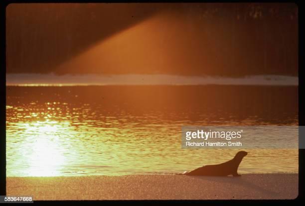 Otter Basking in Dawn Light