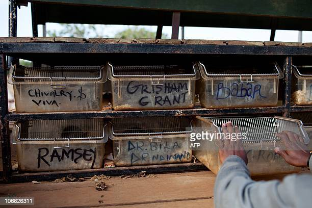 Otto Bakano The names of baby giant African pouch rats are written on their cages at the training center of a pioneering Belgian NGO in Morogoro...