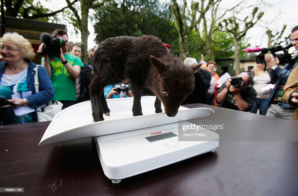 A Ouessant sheep is weighed by zookeepers during a baby animals inventory at Hagenbeck zoo on May 16, 2013 in Hamburg, Germany.
