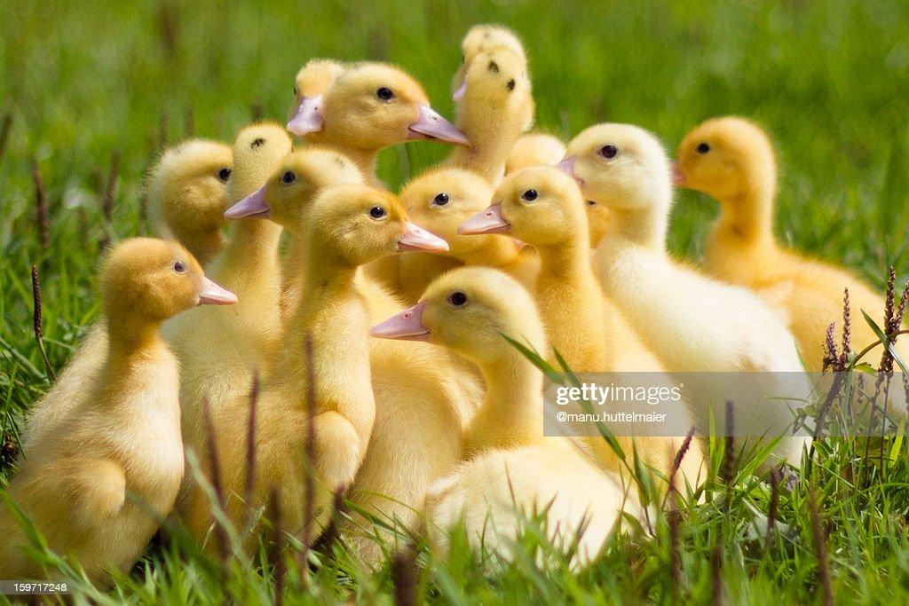 our sweet little ducks