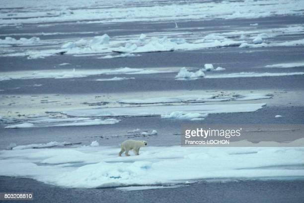 Ours blanc sur la banquise en Arctique