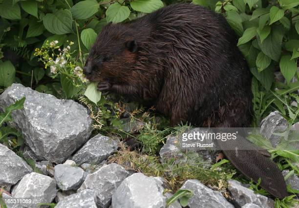 Out in the open the beaver eats some of the shrubs along the boardwalk A beaver feasts on the trees and shrubs behind 77/99 Harbour Square near the...