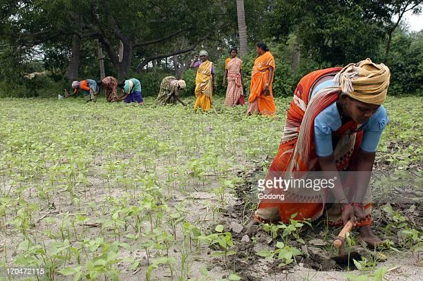 Outcaste women laboring land belonging to a high caste landowner India