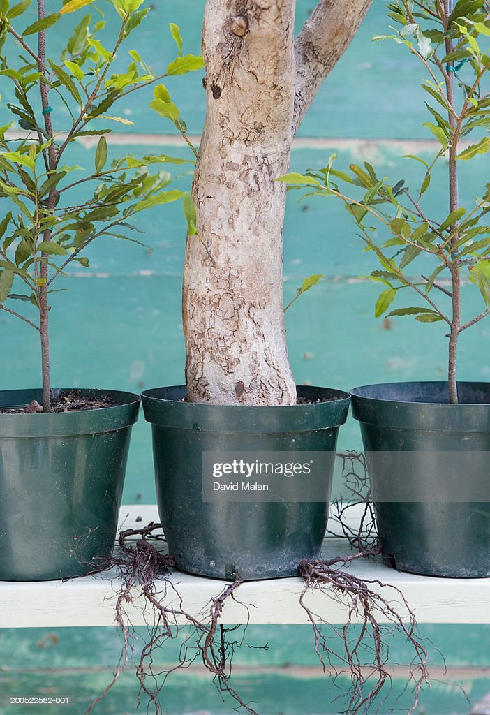 Overgrown potted tree between two potted saplings, close-up : Stock Photo