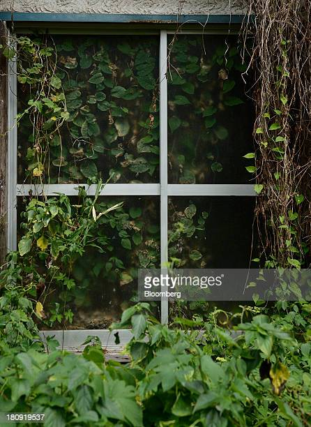 Overgrown vegetation surrounds a window frame of a vacant house in the Yato area of Yokosuka City Kanagawa Prefecture Japan on Wednesday Aug 21 2013...