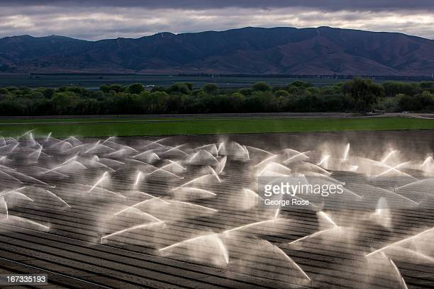 Overhead irrigation sprinkler dampen a newly planted field of lettuce on April 4 near Gonzales California The Salinas Valley backdrop for several...