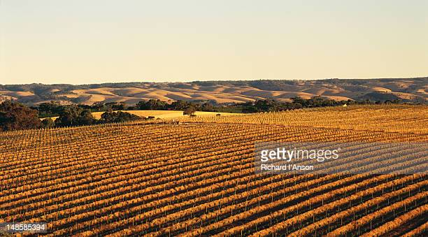 Overhead of vineyards in late afternoon.