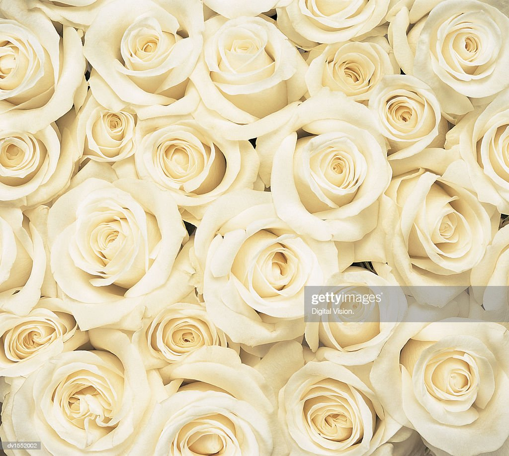 Overhead View of a Large Group of White Roses Crowded Together : Stock Photo