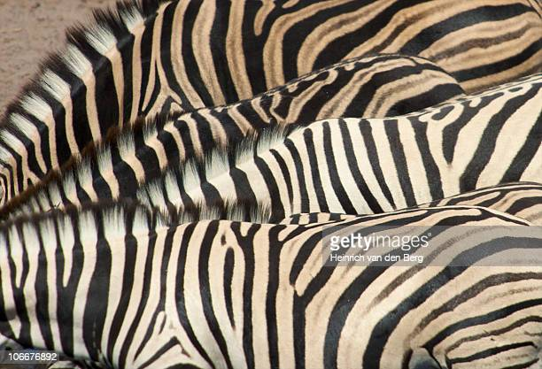 Overhead view of Burchell's Zebra (Equus Burchellii) necks and backs, showing abstract patterns, Namibia