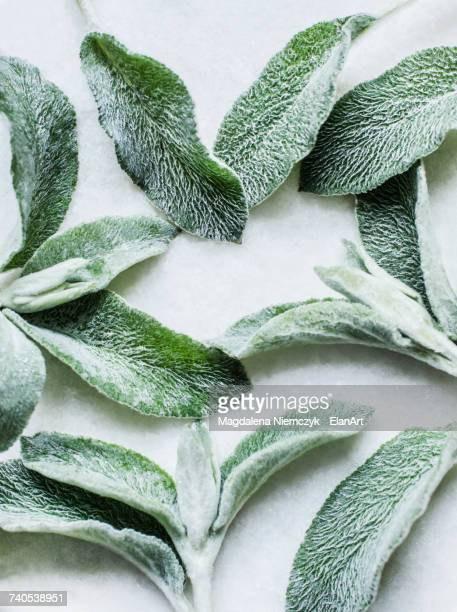 Overhead view of sage leaves