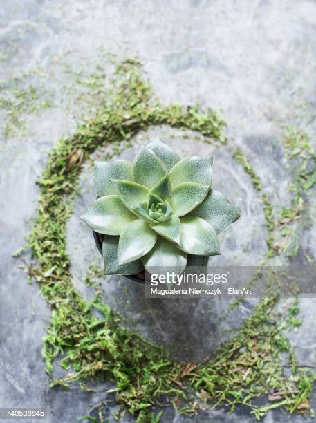 Overhead view of succulent plant