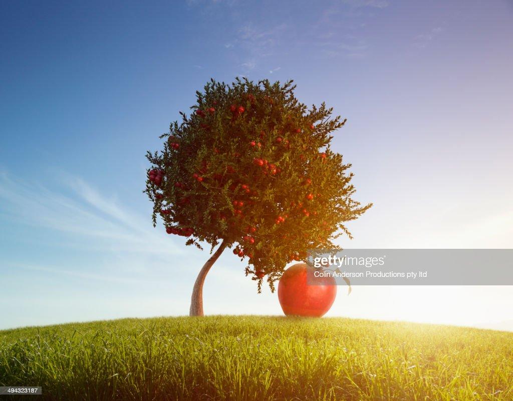 Oversized apple growing on tree in rolling field