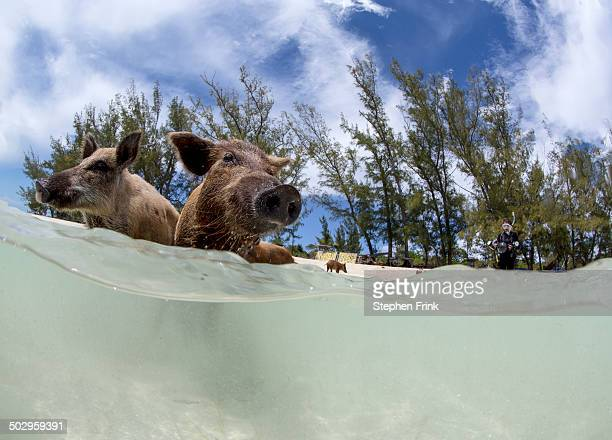 Over/under view of pigs at No Name Cay.