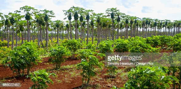 Overview of papaya orchard (young trees in the foreground and mature trees laden with fruit in the background) on an organic farm : Stock Photo