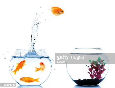 overweight discrimination fat goldfish jump to new fishbowl