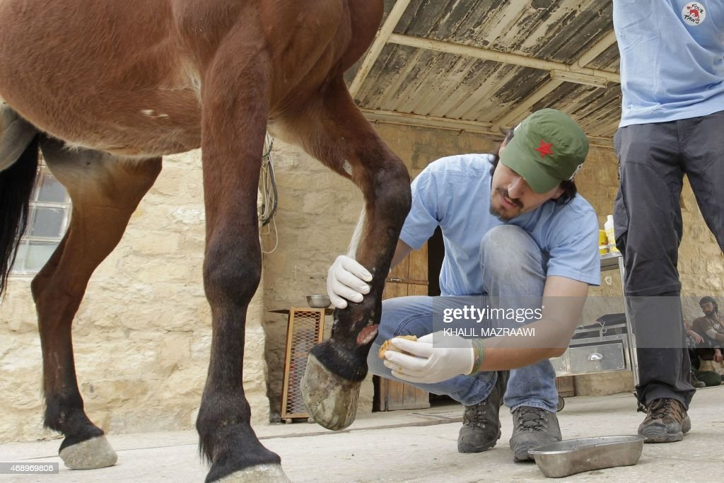 Ovidiu Rosu a veterinarian from the animal welfare charity Four Paws treats an injured horse used for transporting visitors at the ancient city of...