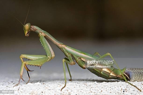 Ovipositing mantis