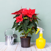 The concept is how to grow home flowers Euphorbia subg, Poinsettia. Flower in the house on the desk and tools for the care of indoor plants.