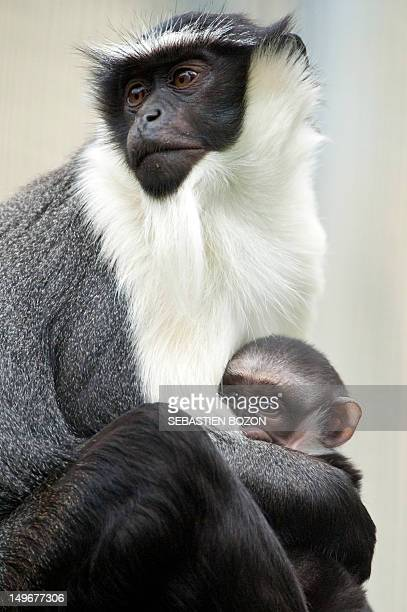 Owabi a twoweekold monkey cub of the Cercopithecus roloway family one of the 25 most endangered primate species in the world is pictured with its...