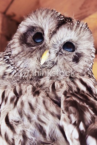 Owl As A Symbol Of Intelligence Knowledge And Wisdom Stock Photo