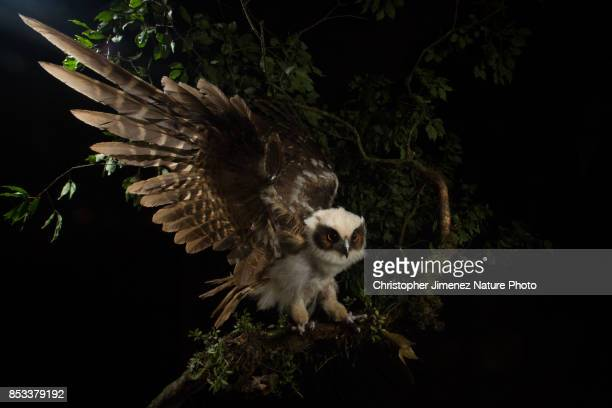 Owl at night landing on a branch extending his wings