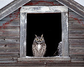 Owl framed in a window