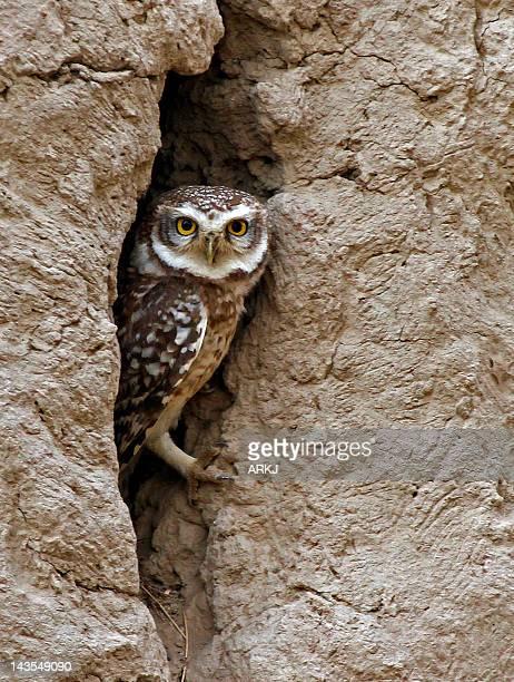 Owl in den