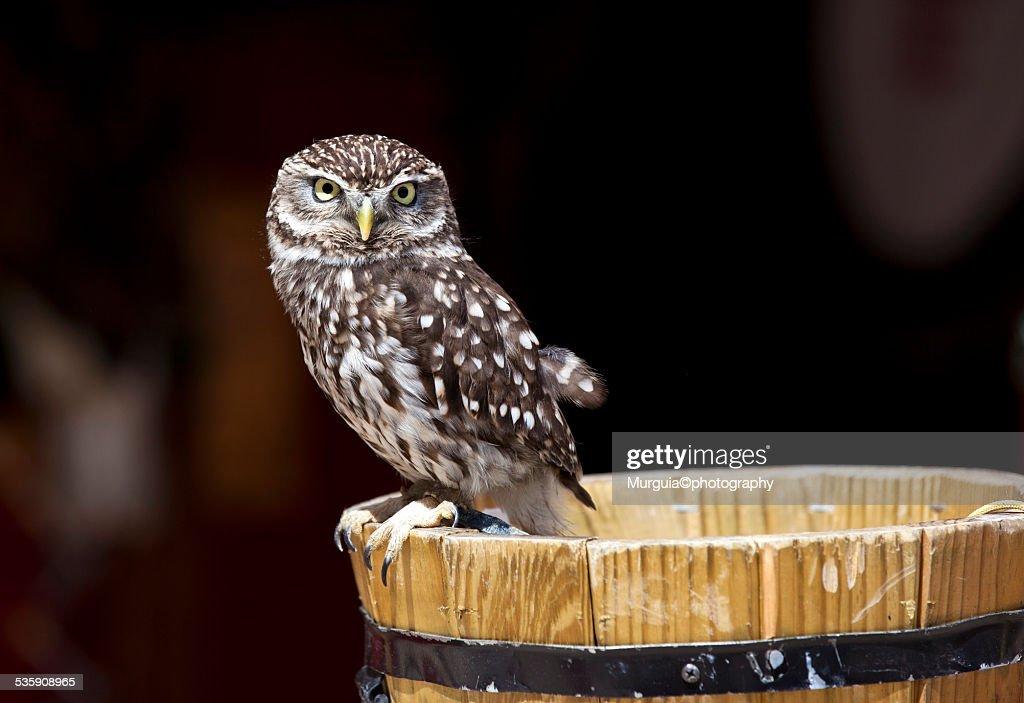Owl little : Foto de stock