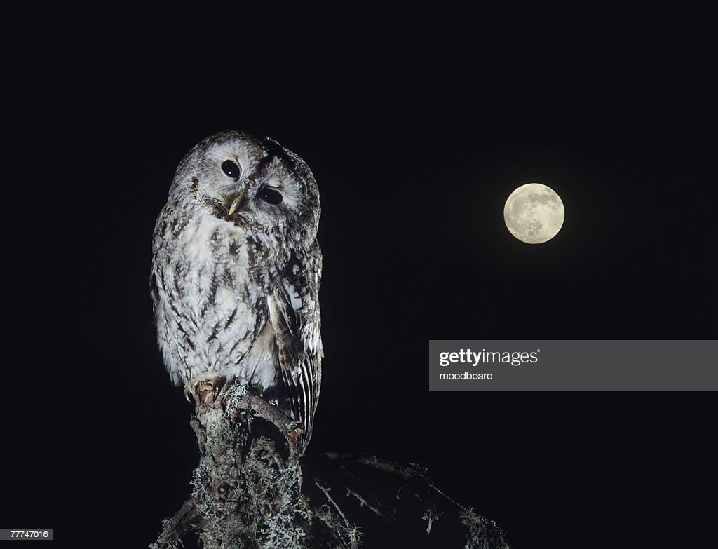 Owl on Branch : Stock Photo