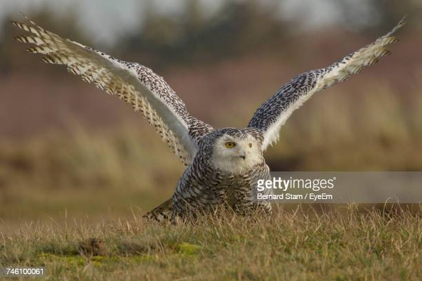 Owl Perching With Spread Wings On Grassy Field