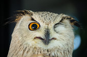 Close up Eagle Owl
