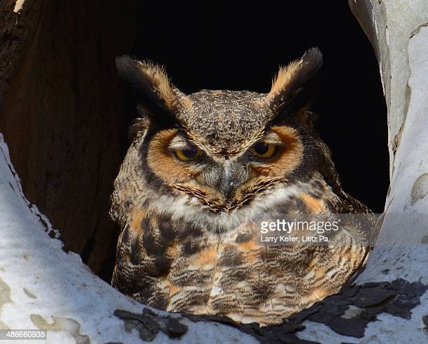 Owl setting in a hollowed out tree