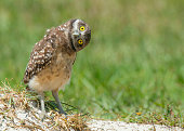 Stop, look and listen.  An adorable little burrowing owl, tilts his head sideways as he listens with big yellow wide eyes. He looks surprised and interested in what he hears.  Background is blurred ou