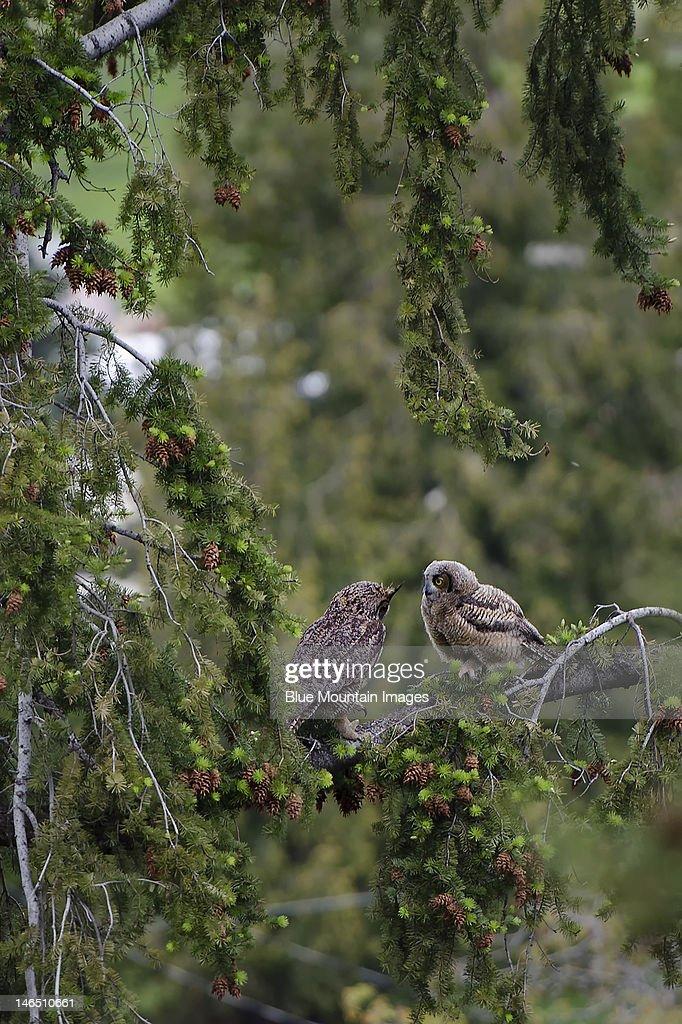 Owl to Owlet : Stock Photo